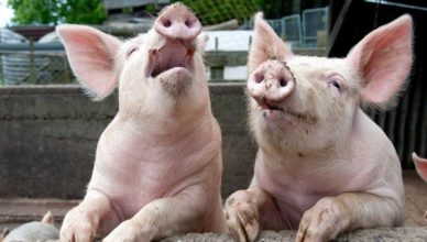 Cerdos protestando